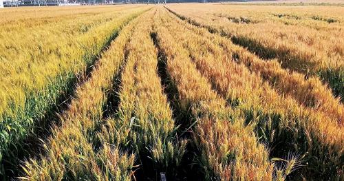 小麦基地.jpg